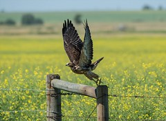 Reach for the sky! (Adriana Faciu) Tags: reach sky fields canola prairie fence takeoff flight swainsonshawk hawk bird