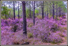 Pinède en fleurs (Les photos de LN) Tags: pinède pins forêt bois fleurs bruyère nature paysage couleurs rose mauve végétation hourtin gironde aquitaine lumière
