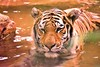 A Close Call! (Tiger) (a2roland) Tags: normanzeba2rolandyahoocom norm lion tiger leopard cheetah wild kingdom fear prey predator hunter dangerous bite eat carnivore mammal water jungle forest looking portrait face eyes nose mouth expression whiskers moustache stare pounce lunge careful river stream swimming hair fur skin tone rust yelloe red © norman zeb photography all rights reserved