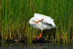 American White Pelican (Pelecanus erythrorhynchos) (R-Gasman) Tags: bird americanwhitepelican pelecanuserythrorhynchos iona richmond britishcolumbia canada