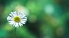 The last bits of spring (Igor Pollet) Tags: light lumière leica fleur flower jardin garden green vert grass sony a7ii summaron 35mm extension tubes spring printemps plant plante