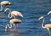 Flamingo (Victor Viana) Tags: phoenicopterus roseus flamingo