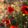 25042017-IMG_0551-2 (elteclas) Tags: 2017 valencia amapolas flores parquetecnológico