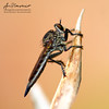 The Asilidae a.k.a Robber Fly | Macro (AnNamir™ c[_]) Tags: asilidae robber robberfly annamir canon tamron sp90 lalatpembunuh lalat keluargalalat assassin flies assassinflies abigfave