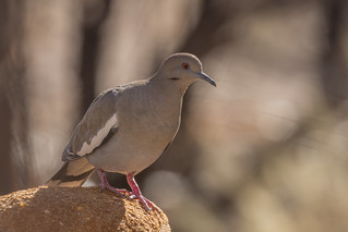 White-winged Dove (Zenaida asiatica) (sp. # 212)