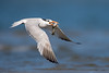 The Royal Catch (Khurram Khan...) Tags: royaltern tern shorebirds birdphotography birdsinflight wildlifephotography wildlife wild wwwkhurramkhanphotocom summer migration nikonnofilter iamnikon ilovenature