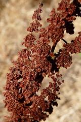 *Rumex crispus CURLY DOCK. (openspacer) Tags: dock jasperridgebiologicalpreserve jrbp nonnative polygonaceae rumex