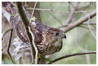 Cooper's Hawk (Accipiter cooperii) COHA -