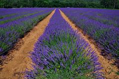 Lavender fields (natureloving) Tags: lavender lavende nature landscape perspective field bluenatureloving nikon d90