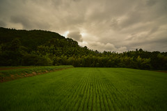 Rice and bamboo. (Yasuyuki Oomagari) Tags: rice bamboo mountain cloud dark cloudy august nikon d810 zeiss distagont2821 japan