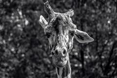Mithra (B&W) (spierson82) Tags: brookfieldzoo giraffacamelopardalisreticulata czs chicagozoologicalsociety zoo reticulatedgiraffe giraffe mithra habitatafricathesavannah habitatafrica animal brookfield illinois unitedstates us monochrome