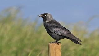 Jackdaw     (Corvus monedula)