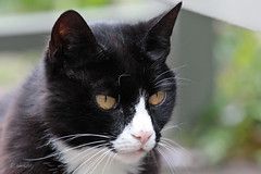 cat VICKY (K.Verhulst) Tags: cats cat poes kat pet huisdier vicky artis artiszoo amsterdam ruby5 ruby10
