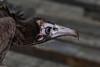 Kappengeier (marionB-fotografie) Tags: tier tiere animal animals bird geier heidi greifvögel greifvogel tierparkberlin