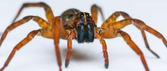 WOLF SPIDER 105MM EX DG MACRO SDQH-1 (chrisfergusonworks) Tags: southernindiana sigma sigmafoveon sdqh sdquattro sigmasdquattroh spiders spencercounty lightroom macro santaclausindiana chrisferguson sigma105mmf28macro