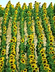 Ejército De Girasol - Sunflower Army (Konny :-))) Tags: sunflower sonnenblume girasole girassóis girassol girasoles girassói army armee armée esercito exército field feld campo champ