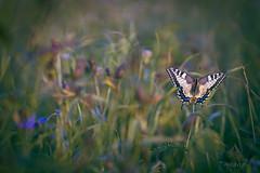 days like this (_andrea-) Tags: papiliomachaon swallowtail schmetterling butterfly sony alpha 7m2 carlzeiss 50mm objektiv mount planar14 sonyzeissplanar flowers september insekten macro love nature