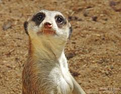 Suricata (Suricata suricatta) (Marina CRibeiro) Tags: portugal lisboa zoo suricata meerkat viverrídeo