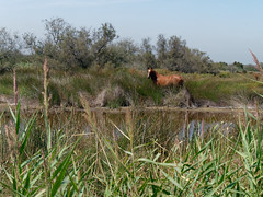 Cheval en Camargue