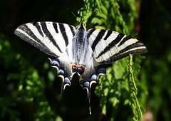 Southern swallowtail (anacm.silva) Tags: borboletazebra borboleta butterfly wild wildlife nature natureza naturaleza insect insecto famalicão portugal iphiclidesfeisthamelii southernswallowtail