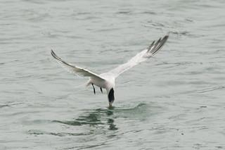 DSC_4772.jpg Elegant Tern, Moss Landing