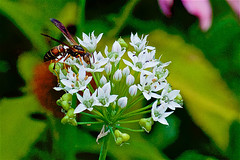 sting (avflinsch) Tags: ifttt 500px macro flower white green insect bee wasp sting chives