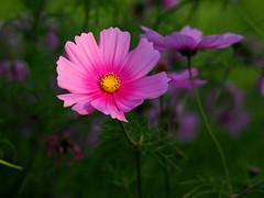 Summer feelings (ej - photography) Tags: flower blume summer sommer 2017 olympus omd em5markii sunlight evening schweiz switzerland colorful farben makro macro mzuiko garden september outdoor