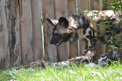 DSC_0413 (Commandant Aife) Tags: lycaon african wolf dog loup peint peinted canin canine zoo de beauval