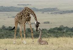 Tender Moment between Young Giraffe and its Mother (John Hallam Images) Tags: tender moment young giraffe mother masai mara masaimarakenya