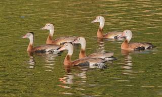 Black-bellied Whistling Ducks - Explored