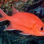 Whitetip Soldierfish - Myripristis vittata thumbnail