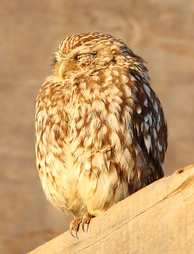sleepy little owl in the morning sun - athene noctua