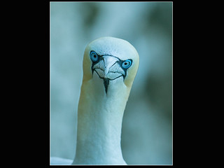 New Gannet Portrait