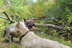 buck092117h1 (myvreni) Tags: vermont summer nature outdoors animals dogs cairnterriers pets