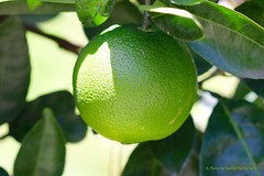 Greeen Orange, Sheraton Gardens, San Salvador (ssspnnn) Tags: citrussinensis rutaceae naranja laranja orange laranjaverde fruta fruit spnunes nunes snunes spereiranunes canoneos70d sheraton citrusmaxima citrusreticulate
