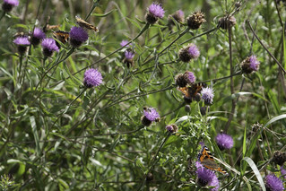 Butterflies and knapweed