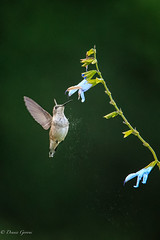 Dusting Off (dngovoni) Tags: meadowlark action background bird flight hummingbird rubythroated summer wildlife vienna virginia unitedstates us