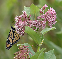 Monarch on Milkweed Blooms (Doris Burfind) Tags: insect butterfly monarchbutterfly nature wildlife summer pointpelee migration milkweed marsh
