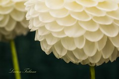 """Lollipop"" Creative White Dahlias - RHS Wisley Gardens (Lauren Taliana) Tags: elements flickr flower floral flora fiore fleur bloom petal petals wisley rhswisleygardens macro closeup nature natur nikkor garden botanical white colour color creative"