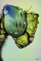 Fullcolor face portrait (gatomotero) Tags: macroextremo macrosmuymacros extremo dragonflyface anaximperator studiostack apilado stack zenere makroiris compononmakroiris50mm28