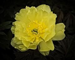 Delicate Wonder (MrBlueSky*) Tags: flower plant petal garden nature outdoor horticulture colour chelseaflowershow london canon canoneos canonm6