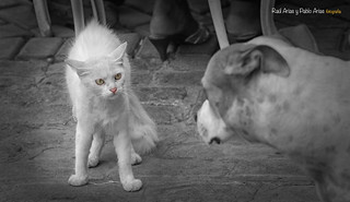 (548/17) Como el perro y el gato