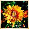 Mum time. #takoma #dc #dclife #washingtondc #iPhone365 #iPhone7plus #iPhone #iPhonemacro #macro  #flower #flowersofinstagram (Kindle Girl) Tags: iphone takoma dc dclife washingtondc iphone365 iphone7plus iphonemacro macro flower flowersofinstagram
