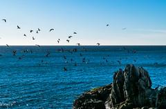 DSC_0038 (Visques) Tags: gulls sea shore viña rock