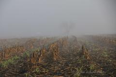 Nessun albero vede l'altro, ognuno è solo (Gianni Armano) Tags: nessun albero vede laltro nebbia pianura campo granoturco trebbiatura foto gianni armano photo flickr