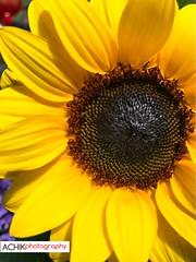 Sunflower. At Cactus Point, Cameron Highland, Pahang, Malaysia (Nasirah Nasir) Tags: pahang cactuspoint petals flowers achikphotography photography malaysia cameronhighland yellowflower sunflower