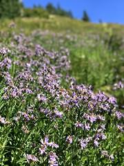 IMG_4495 (Bites N Sites) Tags: seattle washington mount rainier wild flowers