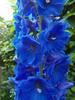 Delphinium (sylvia.humphrey) Tags: blue flower delphinium