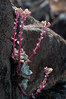 Fieldwork (daniel_p_neal) Tags: botany california fieldbotany fieldwork marincounty pacificstonecrop ringmountain sedumspathulifolium stonecrop wildflowers
