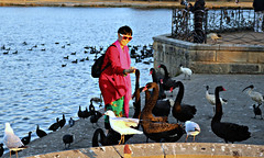2017 Sydney: A Very Windy Spring Afternoon in Centennial Park #29 (dominotic) Tags: sydney nsw australia newsouthwales 2017 centennialpark publicpark tree green orange goldenglow duckpond feedingtheswans bird seagull silvergull nature redbill pink people springsunset
